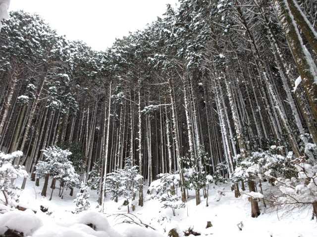 IMG3250JPG着雪の杉林