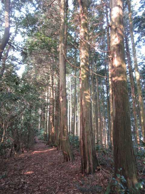 IMG3396JPG歩き易い杉林