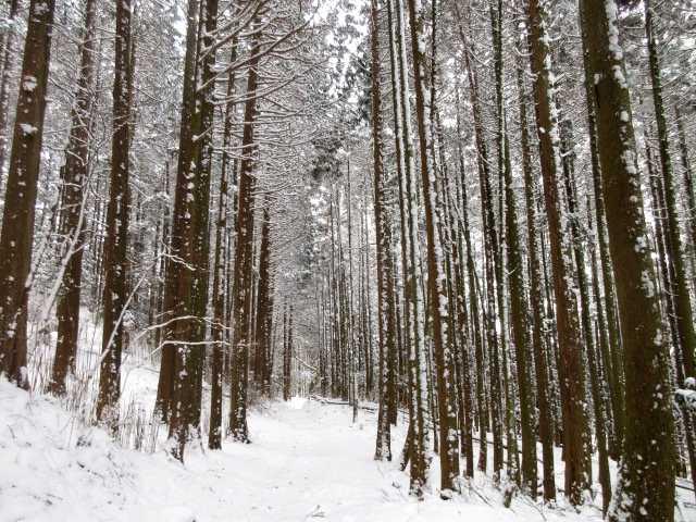 IMG3890JPG着雪の杉林が