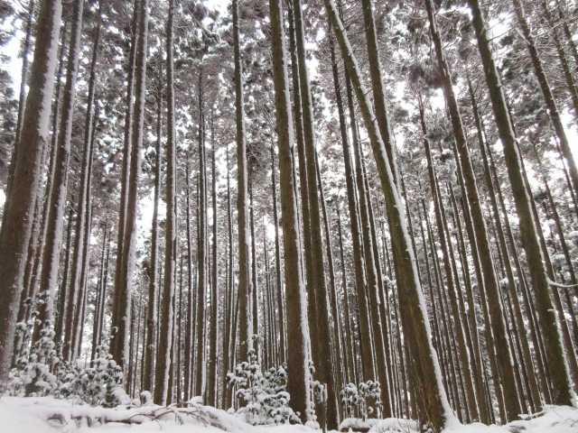 IMG3894JPG着雪の杉林