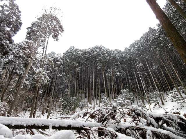 IMG3958JPG着雪の杉林