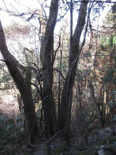 IMG4186JPG上部の桂の木