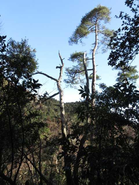IMG4431JPG松の高木