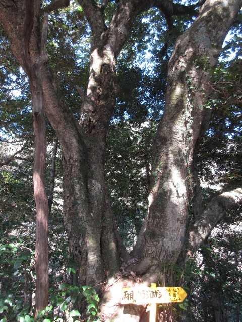 IMG4486JPG両貝のウラジオカシの大樹