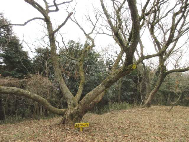 IMG4700JPGオオヤシャブシの大木