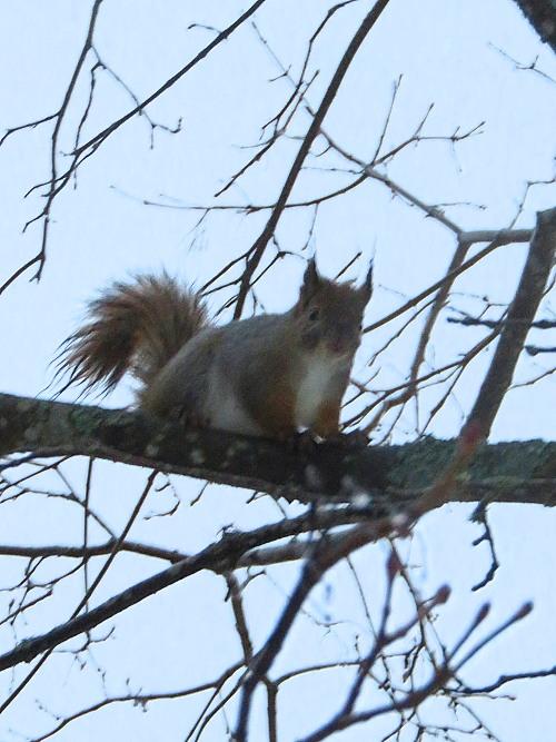 庭のかわいい訪問者 フィンランド リス Orava Squirrel