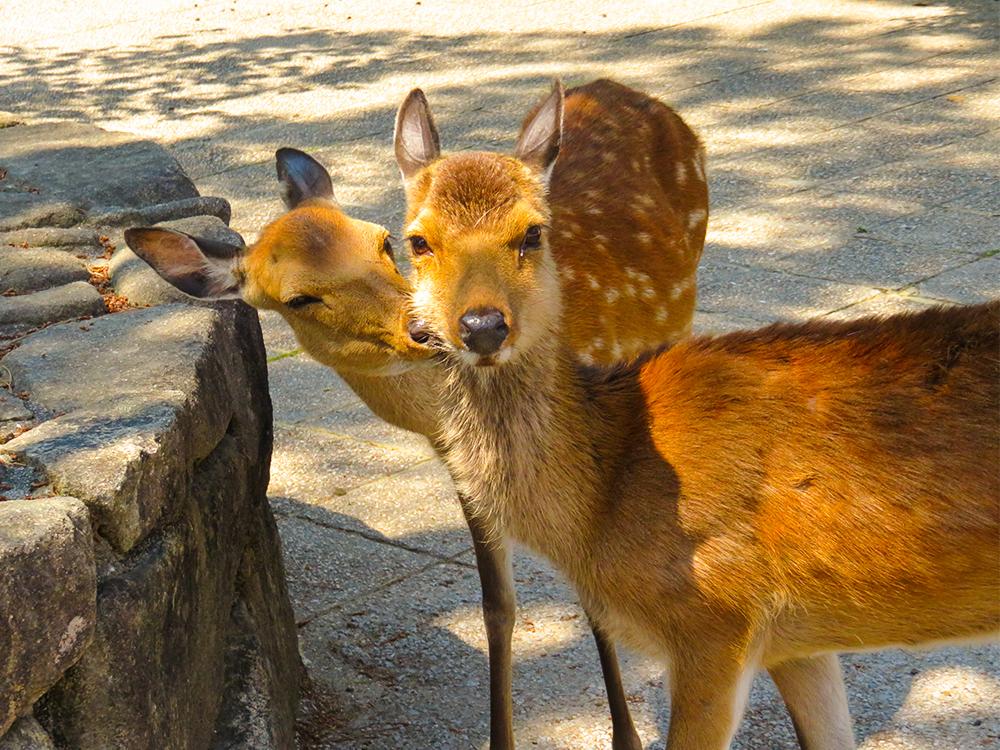 日本 宮島 鹿 ほっぺにちゅ Japan Miyajima Deer Kiss