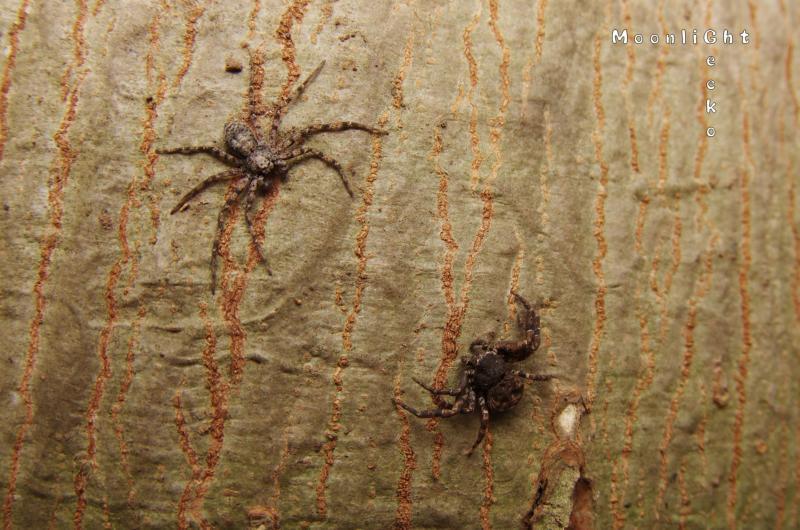 キハダエビグモとキハダカニグモ
