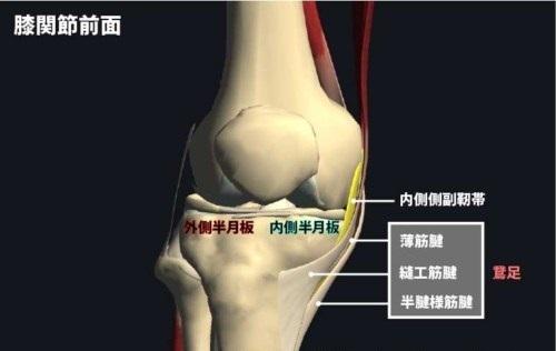 膝関節前面|内側側副靭帯