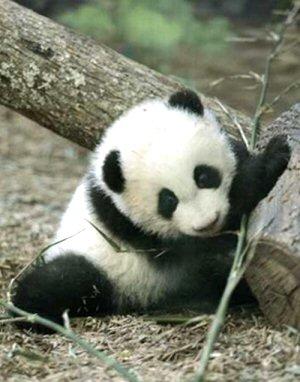 01 300 baby panda