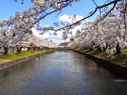 02 500 鶴岡公園 桜