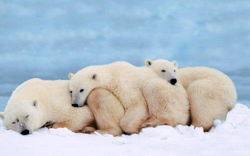 02 500 polarbears