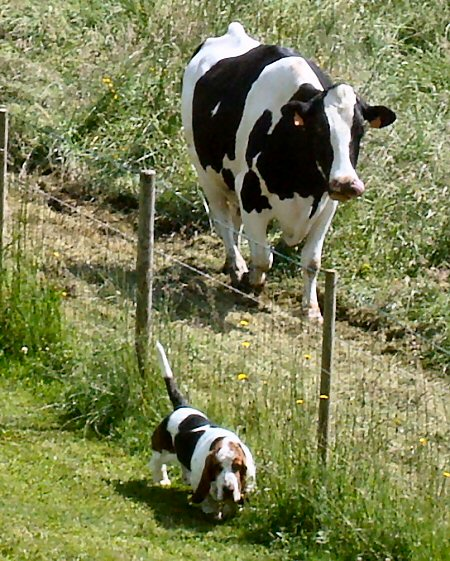 09 450 dog on cow