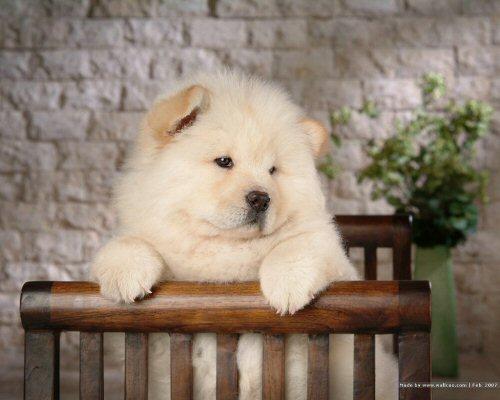 10 500 Chau-chau puppy