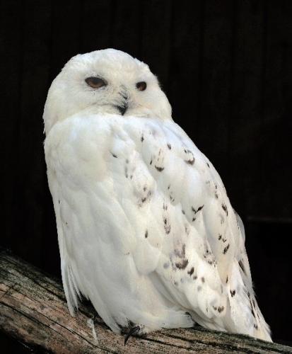 08 500 snowy owl