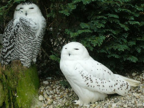 03 500 a pair of Snowy owls