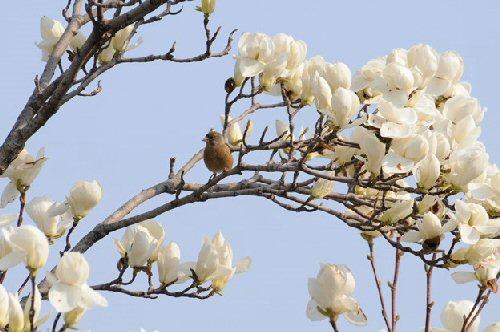 05b 500 白木蓮 white magnolia