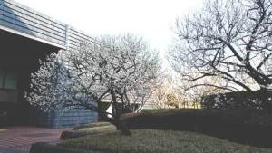 国会図書館前梅2