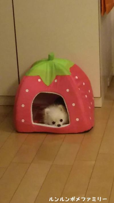 米太郎 いちごベッド お顔出し