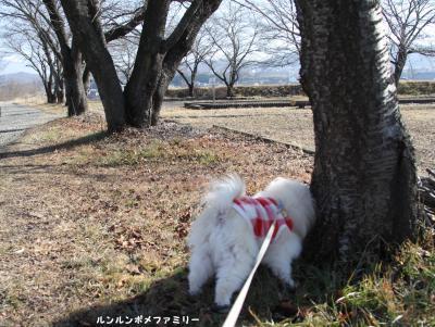 三角公園 桜がいっぱい