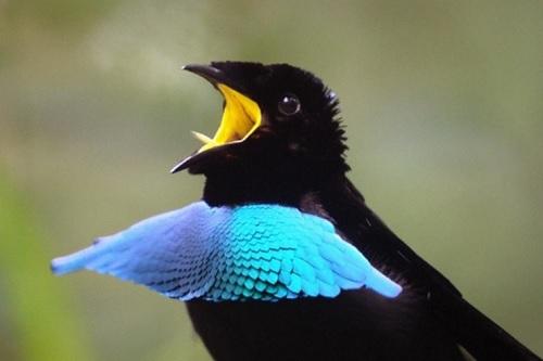 あのころの , この世で最も黒い鳥、99.95%の光を吸収する羽