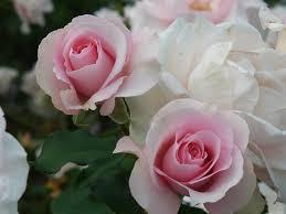 バラ(白、ピンク)、尊敬、感謝