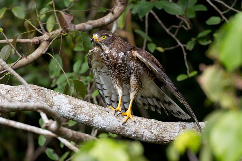 180217サシバ放鳥4