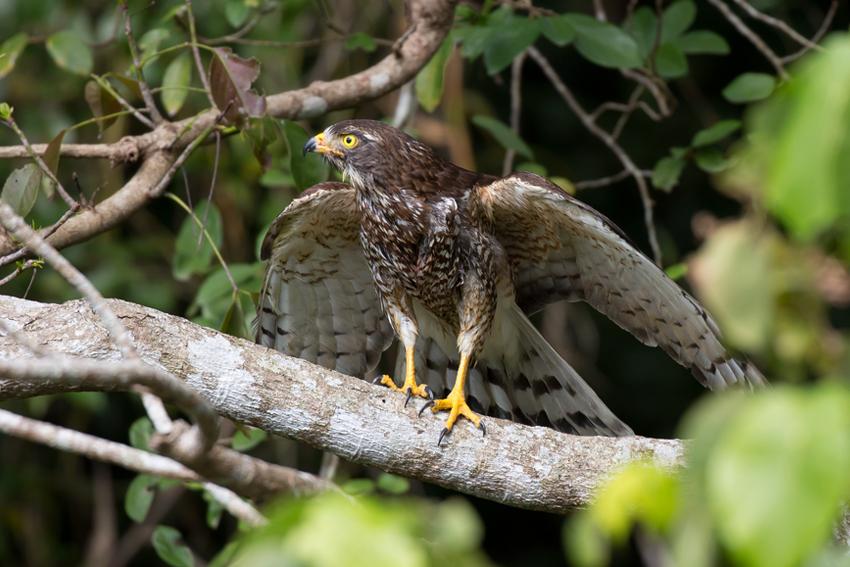 180217サシバ放鳥3