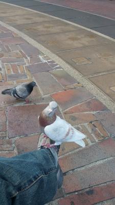 旦那ちゃん鳩を飼う 5