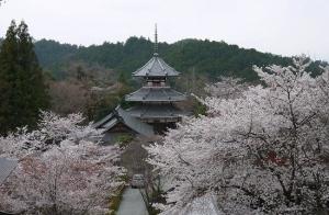 南朝妙法殿 御所桜