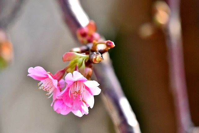 桜咲く 河津桜