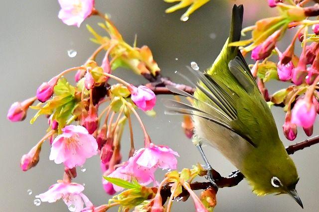 河津桜とメジロン 雨の日編