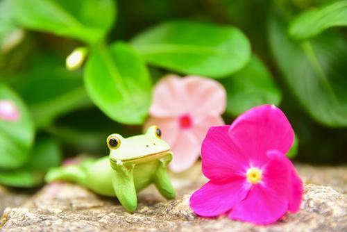ツバキアキラが撮ったカエルのコポー。寝そべって、花を見ているコポタロウ。