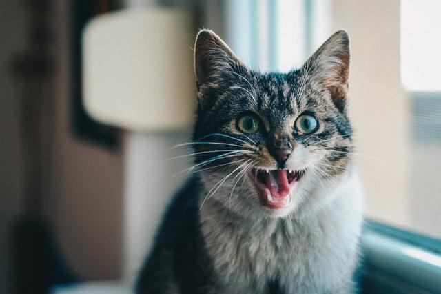 ニャーという猫
