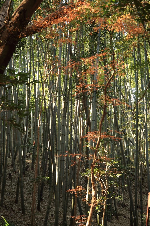 ブログ エジソンも使ったという竹林に寄り添うモミジ.jpg