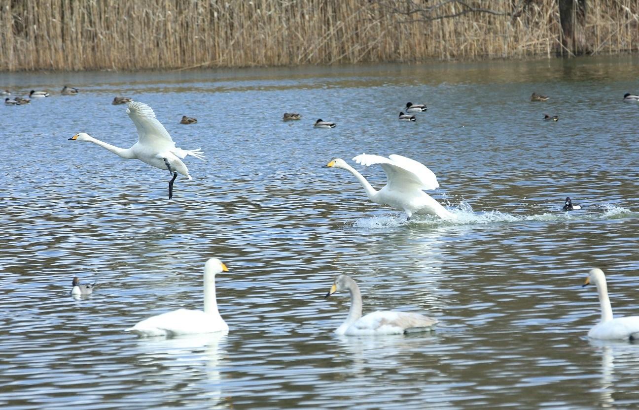ブログ 白鳥着水.jpg