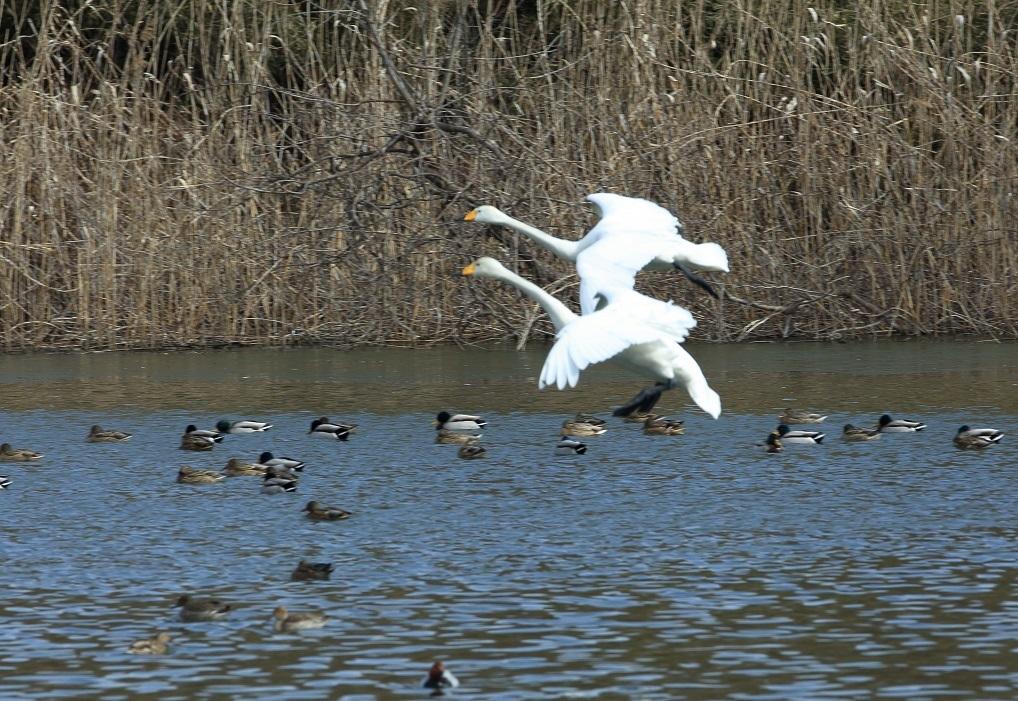 ブログ 白鳥の飛翔.jpg