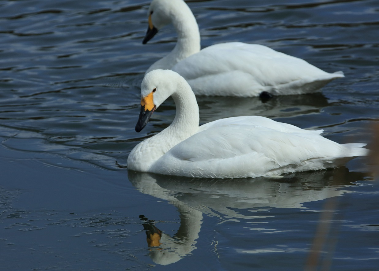 ブログ 薄氷に映り混む白鳥さん.jpg