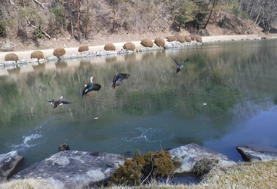 ブログ 池から鴨が飛び立ちます.jpg