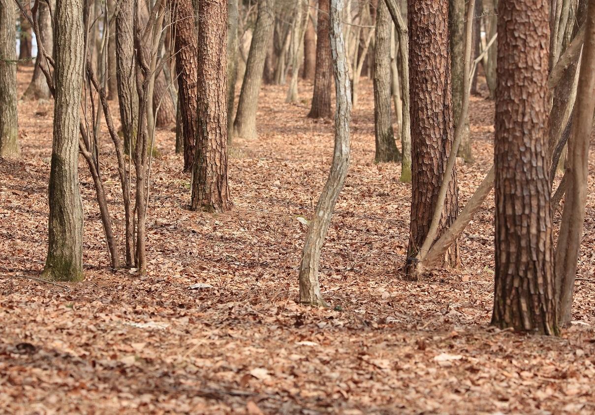 ブログ こんなアカマツと雑木の林地.jpg