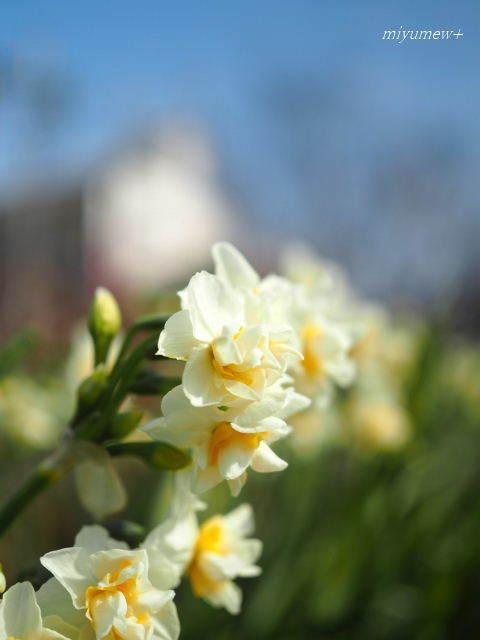 八重咲き水仙180121