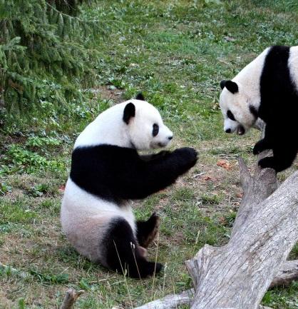パンダ 中国 熊猫