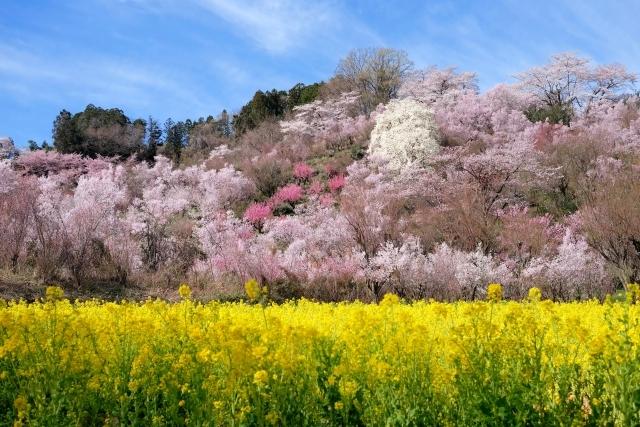 花見山(via写真AC)