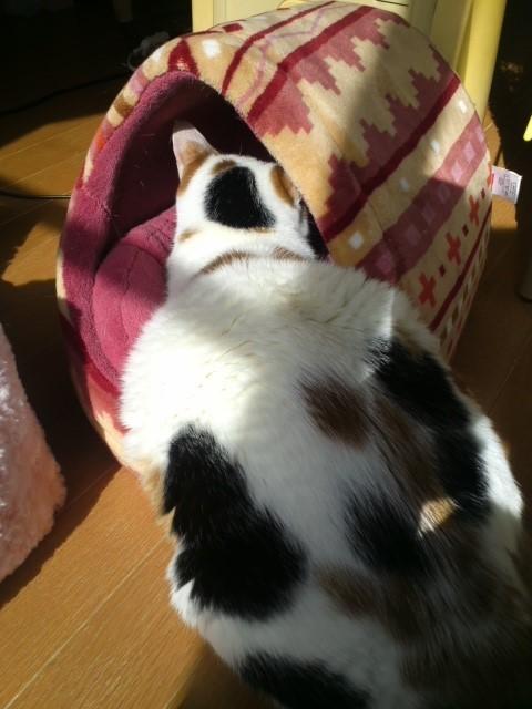 日向ぼっこ猫 尻隠さず