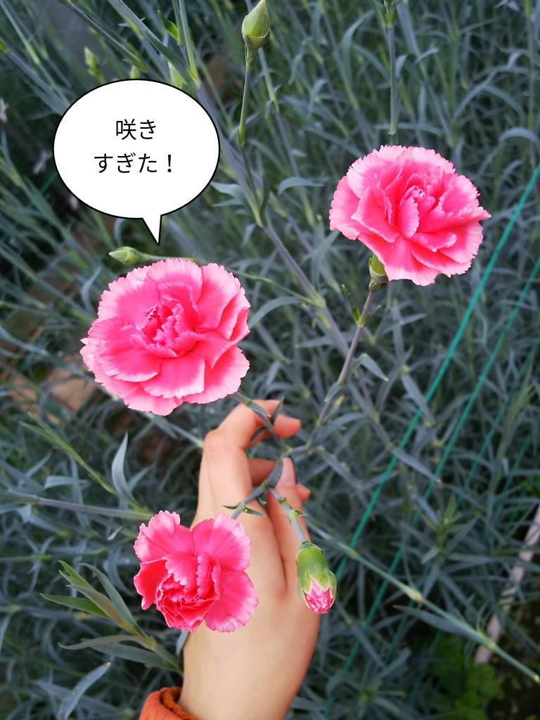 咲きすぎた!