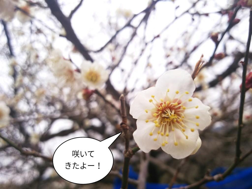 咲いてきたよー!