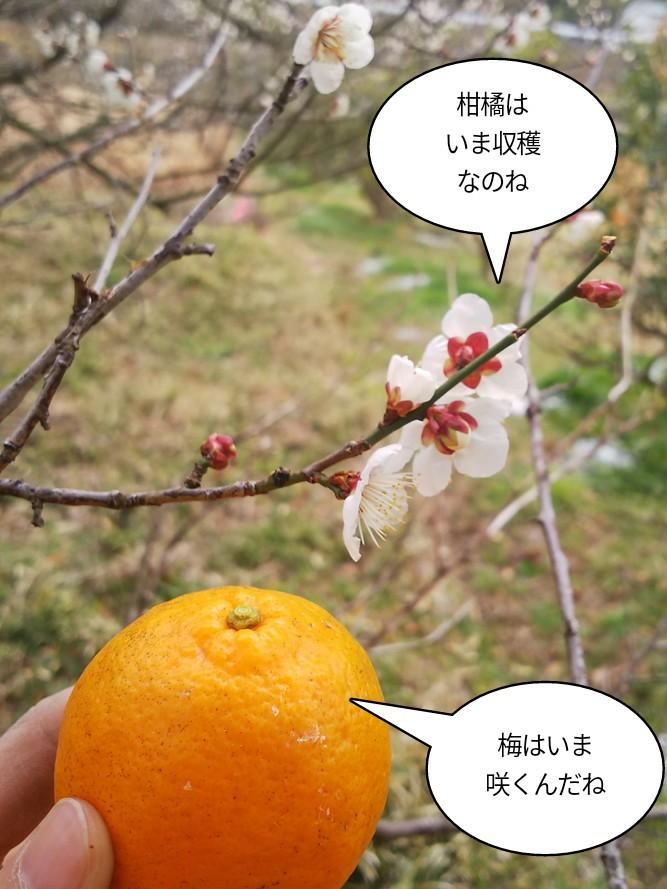 梅はいま花が咲く