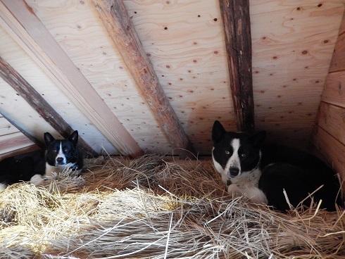 藁納屋の2頭