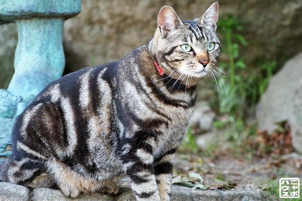 アメショ風味猫さん