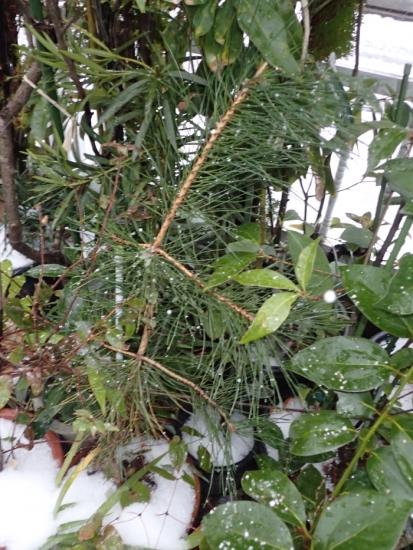 雪の朝2 ヒマラヤスギ